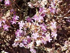 Limoniastrum monopetalum bloom.jpg