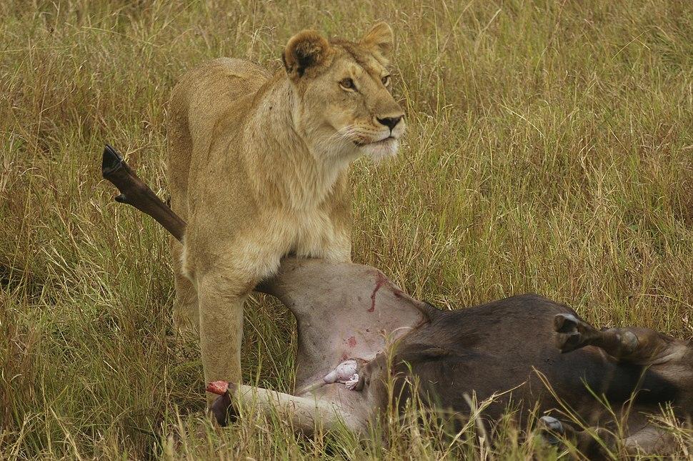 Lion Wildebeast Mara