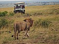Lions @ Maasai Mara (20197349753).jpg