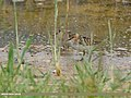 Little Stint (Calidris minuta) (31793935488).jpg