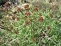 Lomatium dissectum var. multifidum flowering.jpg