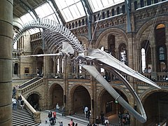 London trip 2018 - Blue whale skeleton in Natural History Museum.jpg