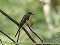 Long-tailed Minivet (Pericrocotus ethologus) (36955324451).jpg