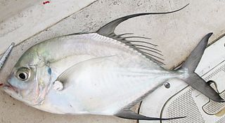 Longfin trevally species of fish