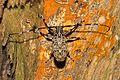 Longhorn (Mesosini sp?) (16533888771).jpg