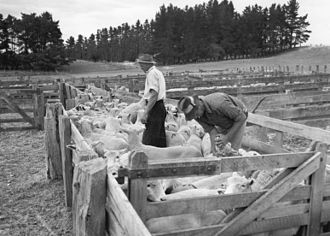 Stock and station agency - Longridge Settlement – inspecting sheep. Archives New Zealand. A stock-agent assessing his client's livestock