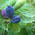 Lonicera caerulea berries 02.jpg