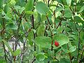 Lonicera utahensis (15034631327).jpg