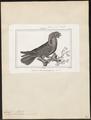 Lorius kuhlii - 1838 - Print - Iconographia Zoologica - Special Collections University of Amsterdam - UBA01 IZ18500310.tif