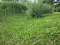 Lotus maritimus (var. siliquosus) sl30.jpg
