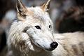 Loup du Canada.jpg
