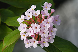 Rubiaceae - Luculia gratissima