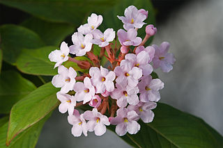 Rubiaceae Family of flowering plants including coffee, madder and bedstraw