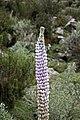 Lupinus Weberbaueri (detalle de la flor).jpg