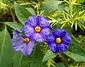 Lycianthes three flowers.jpg