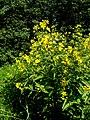 Lysimachia vulgaris L. (7604701696).jpg