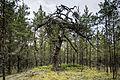 Mänd Nõva metsas.jpg