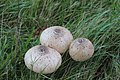 Macrolepiota procera 99688595.jpg