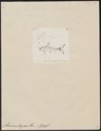 Macrones tengana - 1700-1880 - Print - Iconographia Zoologica - Special Collections University of Amsterdam - UBA01 IZ14600071.tif