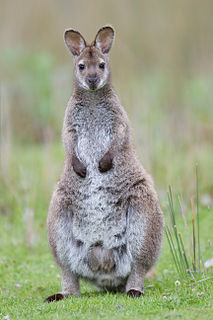 Red-necked wallaby species of mammal