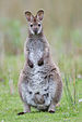 Macropus rufogriseus rufogriseus Bruny.jpg