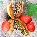 Magn alba fruit seeds4 Pj.jpg