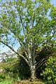 Magnolia dawsoniana - Caerhayes Castle gardens - Cornwall, England - DSC03106.jpg
