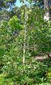 Magnolia sharpii 1.jpg