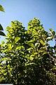 Magnolia x Tranquility 2zz.jpg