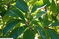 Magnolia x Tranquility 3zz.jpg