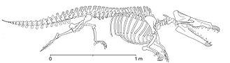 Archaeoceti - Maiacetus inuus