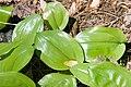 Maianthemum canadense 3zz.jpg