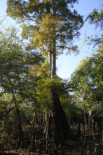 Santee River - A grand old bald cypress tree in the Santee River valley, near Andrews, South Carolina