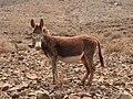 Majorera Donkey.jpg