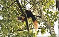Malabar giant squirrel (Ratufa indica).jpg