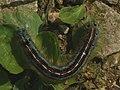 Malacosoma neustria (larva) - The Lackey (caterpillar) - Коконопряд кольчатый (гусеница) (27133615508).jpg