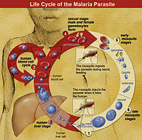 Malaria life cycle In humans, after being bitten by an infected mosquito the malaria parasites first infects the liver. At this stage their are no symptoms.   The red blood cells are infected next, at this stage symptoms of malaria appear.  When an uninfected mosquito bites an infected human they become infected and continue the cycle.