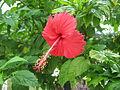 Malaysian Red Hibiscus.jpg