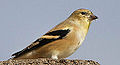 Male American Goldfinch (carduelis tristis) (8083948417).jpg