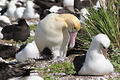 Male Short-tailed Albatross and Chick.jpg