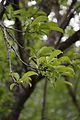 Malus domestica - Apple Leaves - Kullu - 2014-05-09 2200.JPG