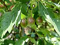 Malus florentina - Florentine crabapple - hawthorn-leaf crabapple - italienischer Zierapfel 07.jpg