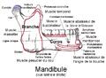 Mandibule.png