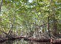 Manglares. La Ciénaga. Parque Nacional Henri Pittier, estado Aragua. Venezuela..JPG
