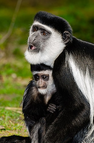 Mantled guereza - With baby at Münster Zoo