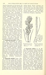 Manual of the grasses of the United States (Page 146) BHL42020785.jpg