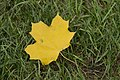 Maple leaf. Shevchenko Garden in Kharkiv.jpg