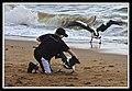 Margate Pelican Rescue- Hammy-11 (6954060533).jpg