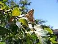 Mariposa en el Roble - panoramio.jpg