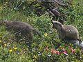 Marmottes en Vanoise (23).JPG